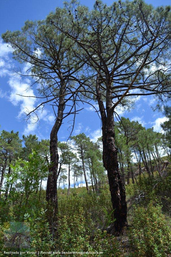 Los pinos tratan de hacerse camino tras el gran incendio que asoló esta zona en 2006