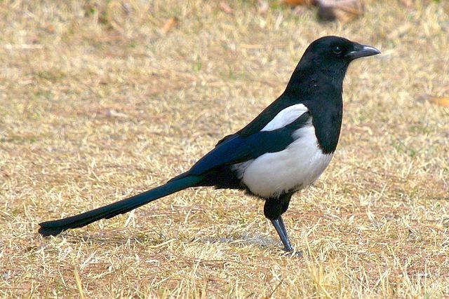 Aves de Guadalajara (V): La Urraca