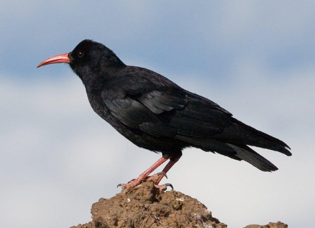 Aves de Guadalajara (IV): Chova Piquirroja