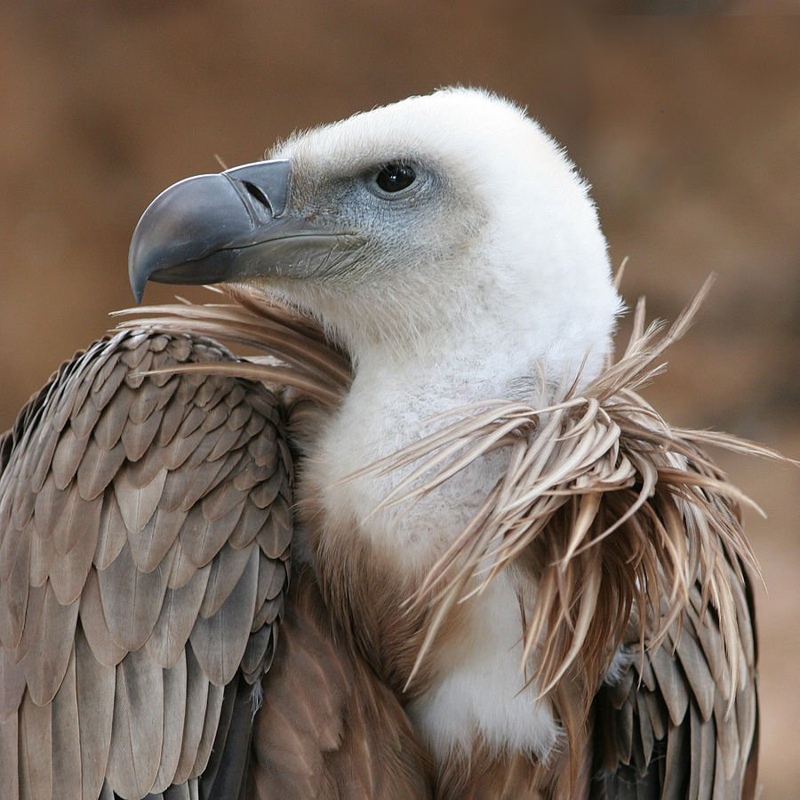 Aves de Guadalajara (VI): Buitre Leonado