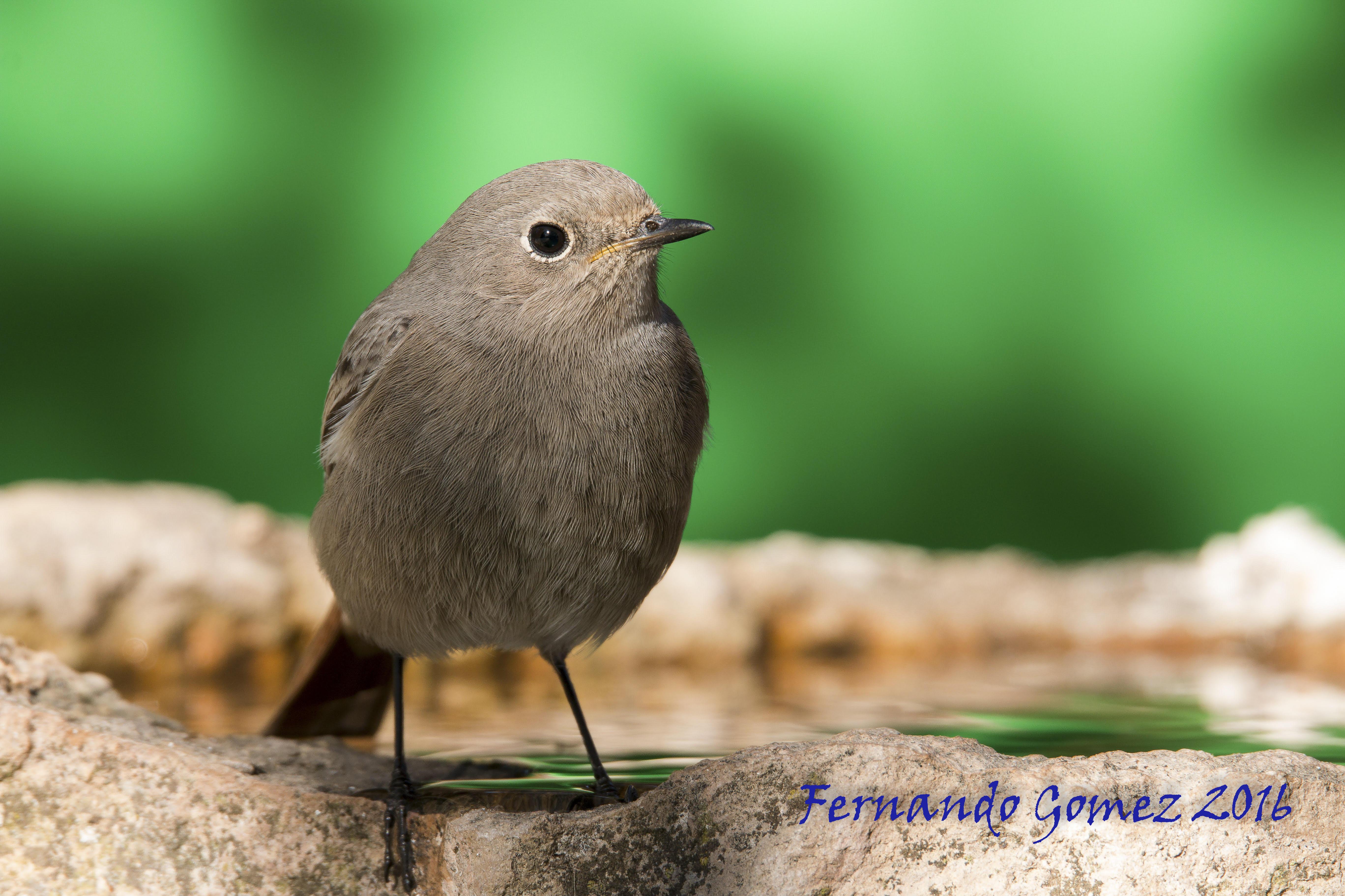 Ficha nº001 de Aves que puedes ver en Guadalajara – Colirrojo Tizón – Phoenicurus ochuros
