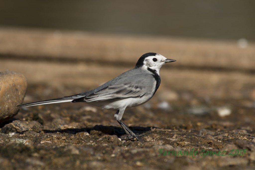 Ficha nº002 de Aves que puedes ver en Guadalajara – Lavandera Blanca – Motacilla alba