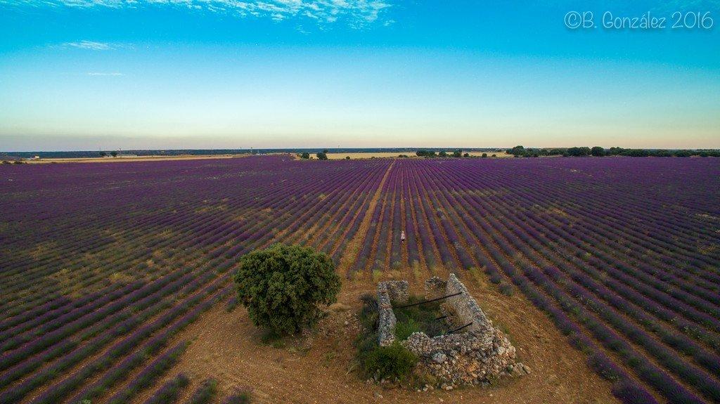 Guadalajara a vista de Drone (IV): Campos de Lavanda de Brihuega, la provenza española