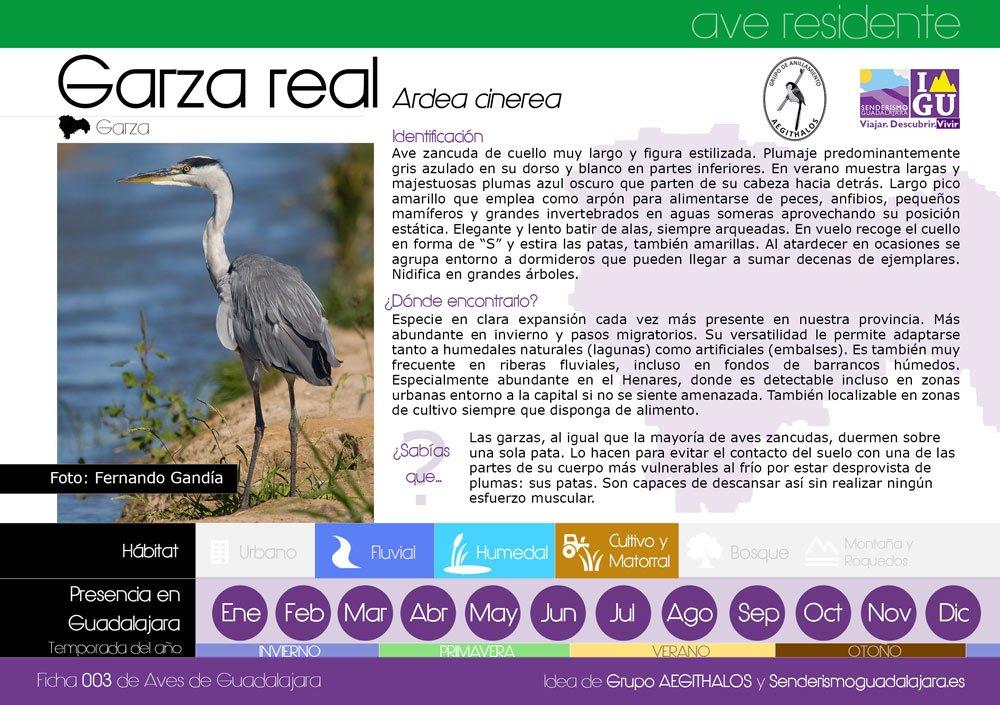 Ficha nº003 de Aves que puedes ver en Guadalajara – Garza Real (Ardea cinerea)