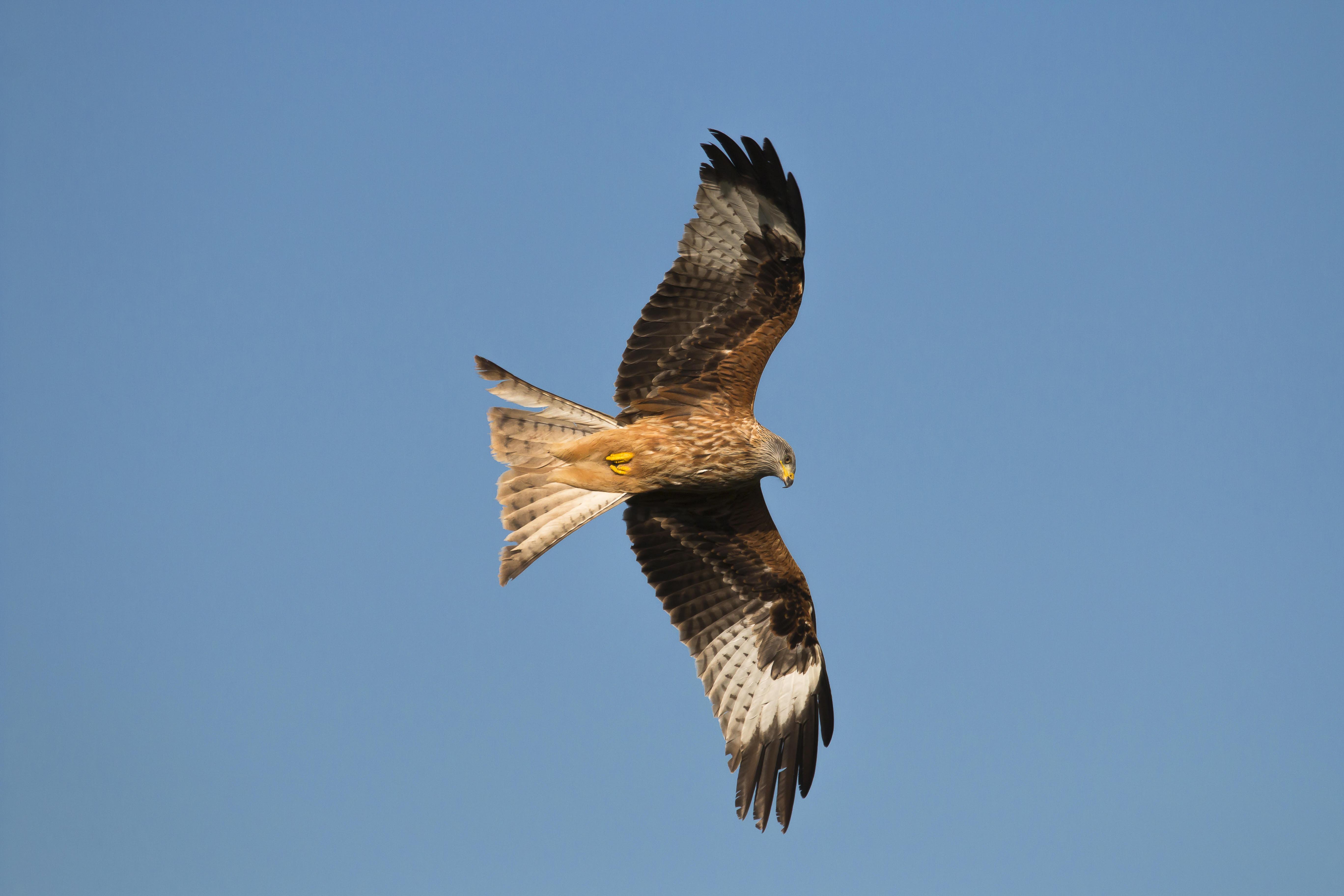 Ficha nº005 de Aves que puedes ver en Guadalajara – Milano Real (Milvus milvus)