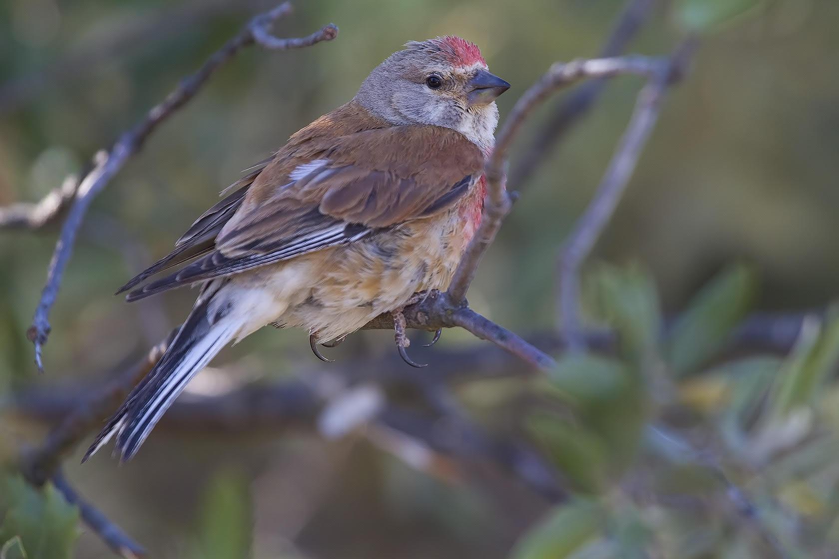 Ficha nº004 de Aves que puedes ver en Guadalajara – Pardillo común (Linaria cannabina)