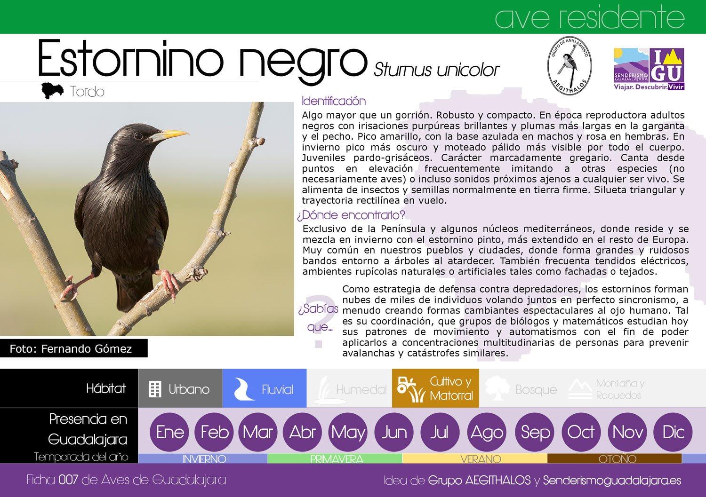 ficha_007_estornino_negro