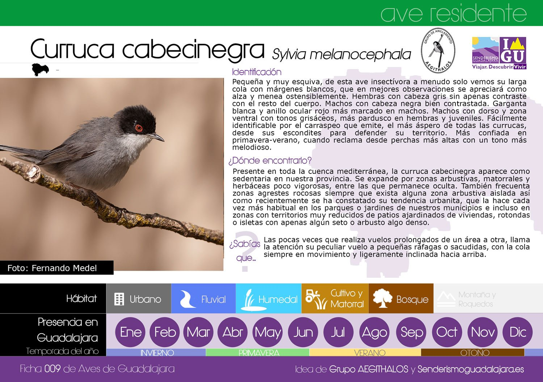 Ficha nº009 de Aves que puedes ver en Guadalajara – Curruca Cabecinegra (Sylvia melanocephala)