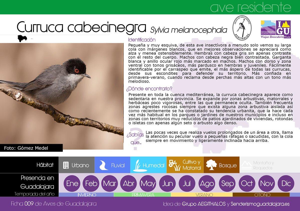 ficha_009_curruca-cabecinegra