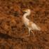 Ficha nº008 de Aves que puedes ver en Guadalajara – Garcilla Bueyera (Bubulcus ibis)