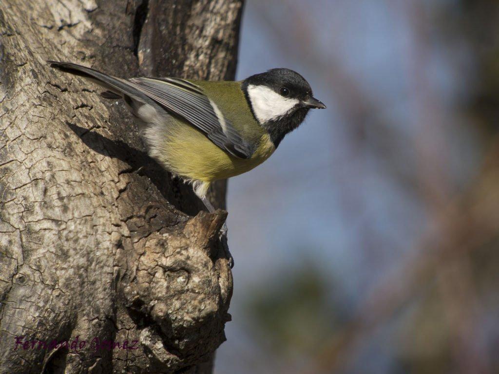 Ficha Nº013 de Aves que puedes ver en Guadalajara – Carbonero Común (Parus major)