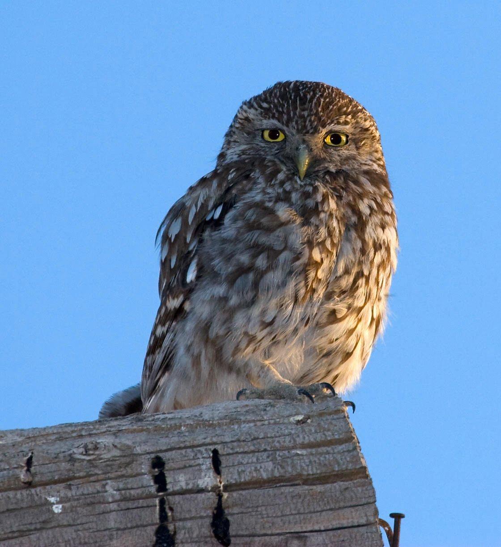 Ficha Nº017 de Aves que puedes ver en Guadalajara – Mochuelo europeo (Athene noctua)